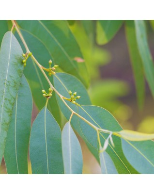 Eucalyptus Lemon Essential Oil ΒΙΟ (Eucalyptus Citriodora)  - FLE034