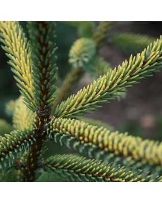 Fir Giant  Essential Oil BIO (Abies Grandis) - FLE081