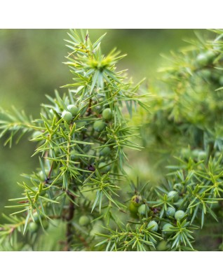 Juniper Branch Essential Oil BIO (Juniperus Communis ) - FLE038