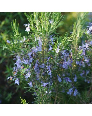 Rosemary Camphor Essential Oil BIO (Rosmarinus Officinalis Campher) -  FLE075