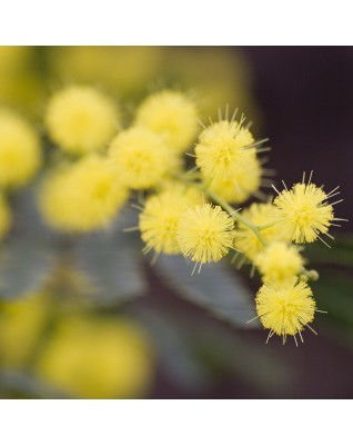 Mimosa Absolute (Acacia Dealbata) - FLJ133